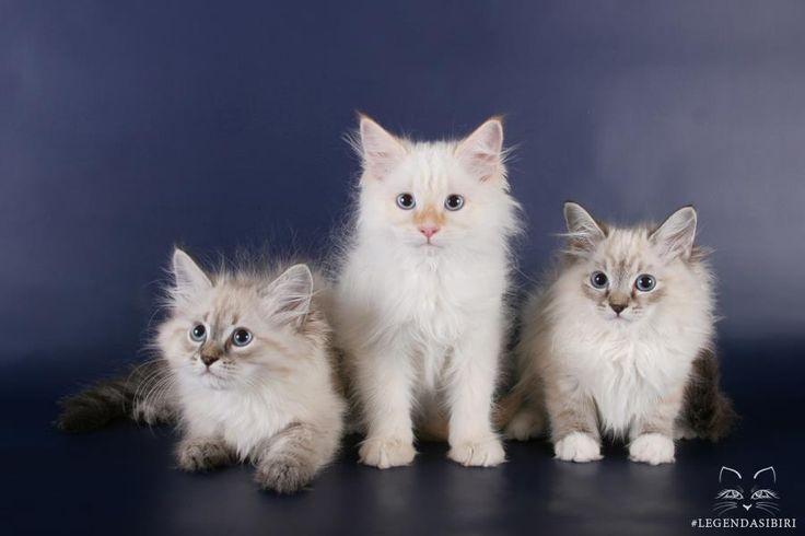 Сибирские котята   #cat #cats #kittens #legendasibiri #кот #котэ #котик #котики #котята #кошки #питомник #сибирскиекошки  #невскаямаскарадная #легендасибири #сибирскиекошки
