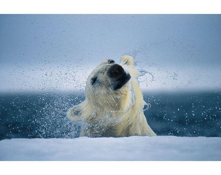 46 Best Paul Nicklen Images On Pinterest Aurora Aurora