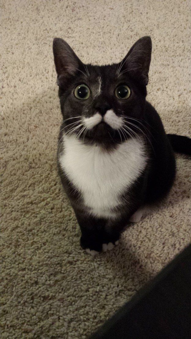 Einstein, the cat with one of the most amazing mustaches in cat history. | The Top 12 Most Adorable Pets Of The Week