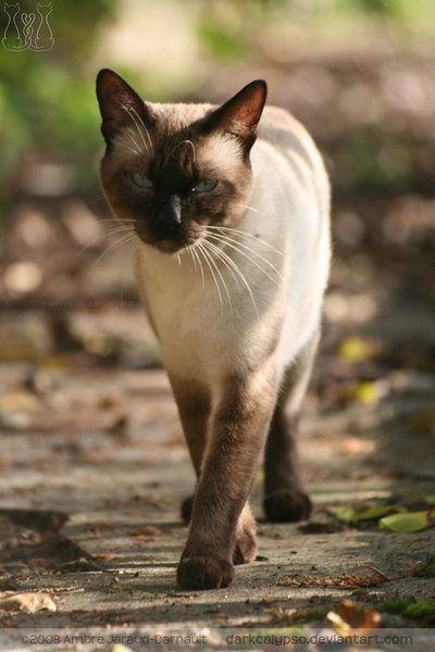 376 Best Thai Cats ︎ Maew Boran Images On Pinterest
