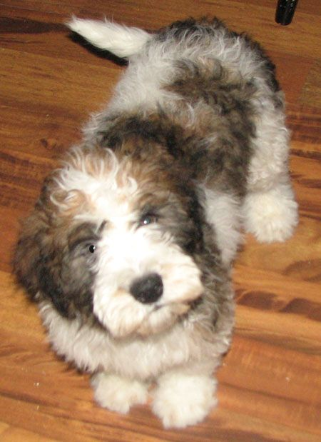 A MINI SAINT BERDOODLE!!! Umm I am in Love. They also breed for Micro Sts. They are soo freakin cute. Jon would love!