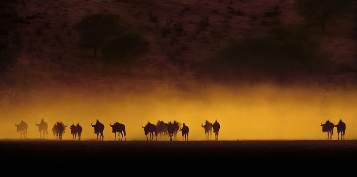 "500px / Photo ""wildebeest ,kalahari sunrise"" by peter delaney"