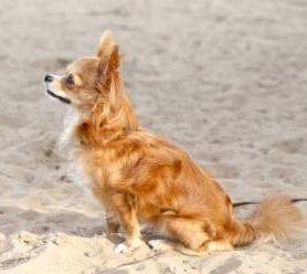 Long Haired Chihuahuas | The Chihuahua Information Center