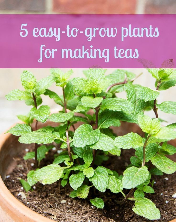 Tea Plants (Warning: Mint and Lemon Balm are like very beneficial invasive weeds - grow them in a pot!!)
