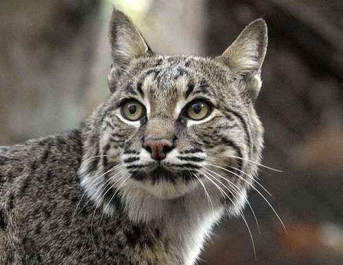 images of wild cats | Different Types of Wild Cats