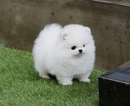Pomerania Toy white. DOG