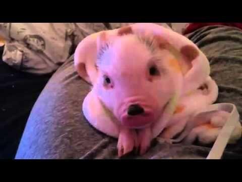 Funny Cute Animal Baby Pig's | Mini Pig's Cute