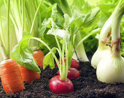 Пока у моркови не появились всходы, ее  поливают регулярно. Когда появятся всходы, их 12-15 дней лучше не  поливать, за исключением засушливых дней. Это дает возможность корням  уйти как можно глубж…