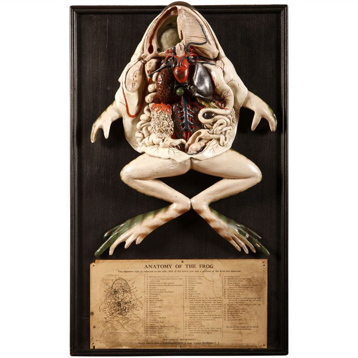 """Vintage 3-D Frog Anatomy (USA, 20th Century) - Anatomical model made from plaster and displayed on an wooden frame. Originally from """"Anatomical Department"""" at the Ward's Natural Science Establishment."""