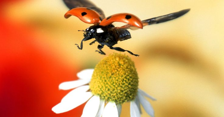 Inseticida caseiro para mosca-branca. As moscas-brancas adultas parecem pequenas mariposas com asas brancas de cera. O estágio de ninfa se assemelha a pequenas escamas esbranquiçadas. Elas danificam as plantas sugando os sumos e secretando um resíduo pegajoso em que cresce mofo. O estágio de escamas é difícil de eliminar, mas os adultos são mais facilmente controláveis. Armadilhas ...