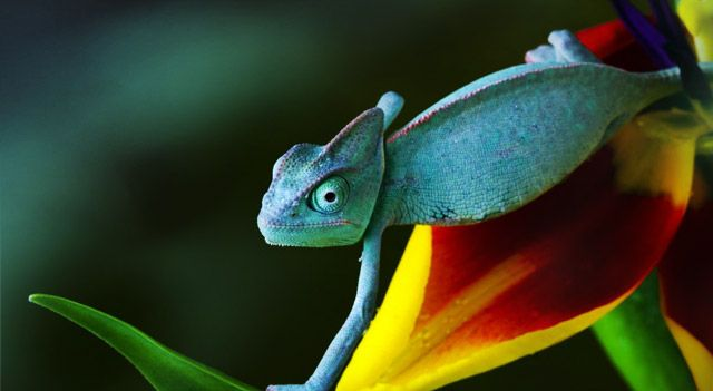 Colorful Lizards   Chameleons Facts, Pictures, Habitat And Food