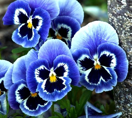 голубые цветы 16 (502x450, 354Kb)