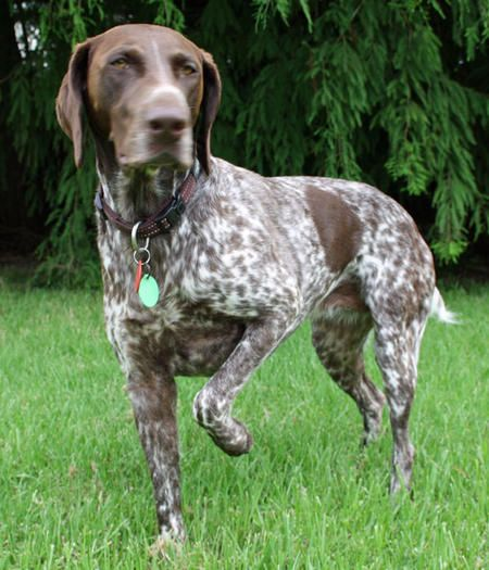 German Shorthaired Pointer. They are members of the sporting group. They are great gun dogs and companions. They stand at 23-25 inches at the shoulder and weigh about 55-70 pounds. Winners: 1974, 2005, and 2016.