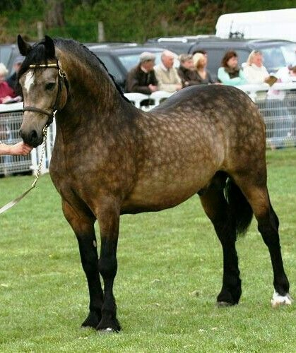 "Stunning, dappled bay Welsh Cob - ""Penlangrug Diplomat"""