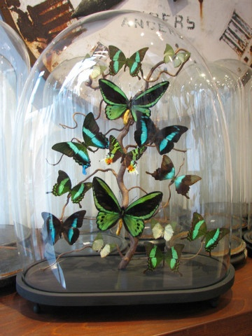 Glass domes with butterflies and other insects - Cabinet-de-curiosités - Ghislain