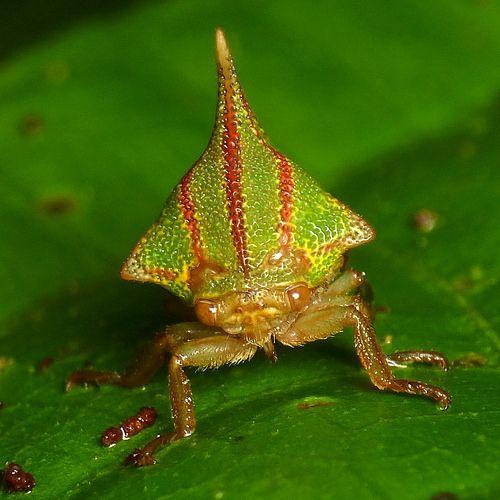 Treehopper, Umbonia spinosa, Membracidae
