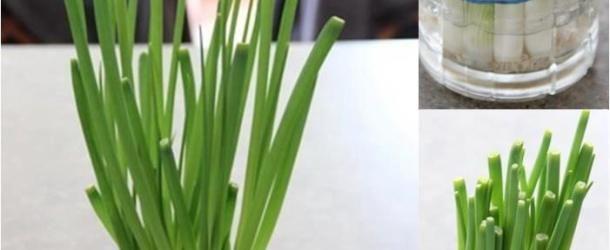 DICA: Como cultivar cebolinha dentro de casa.
