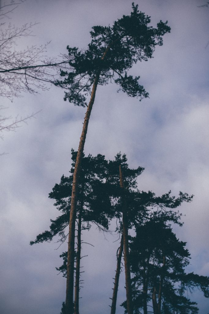 Pines are my favourite trees