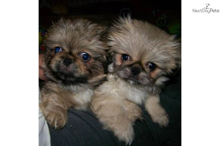 Meet Prince Paulie a cute Pekingese puppy for sale for $745. Paulie&Prue adopted together Laura&John's Babies