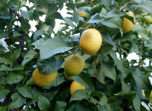 Le citron fut introduit en Espagne par les Arabes au XIe siècle qui l'appelait « Ii Mum » à l'origine du mot limonade… Dans la médecine traditionnelle arabe, le citron était vu comme une véritable panacée pour nettoyer les blessures, soulager les brûlures ou lutter contre les maladies de peau.