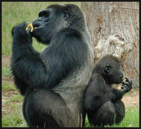 mommy and baby eating...: Daddy Little Girls, Dinners Time, Girls Generation,  Gorilla Gorilla, Baby, Primate, Beautiful World, Father And Sons, Animal