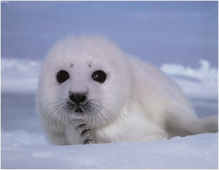 Google Image Result for http://2.bp.blogspot.com/-Z3teKQsXiFM/UE8A9syyyxI/AAAAAAAAESk/xL3aFKE7qNs/s1600/Cute-Baby-Seal.jpg