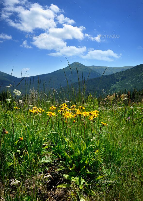 Arnica flowers (Arnica montana) on a background of mountains