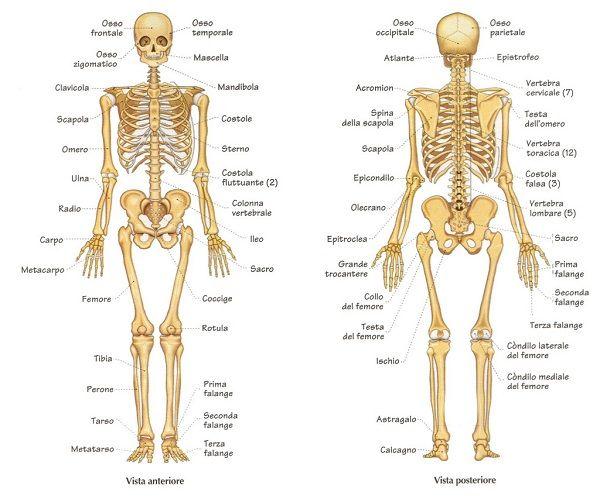www.guidasalute.it wp-content uploads 2014 11 anatomia-3.jpg