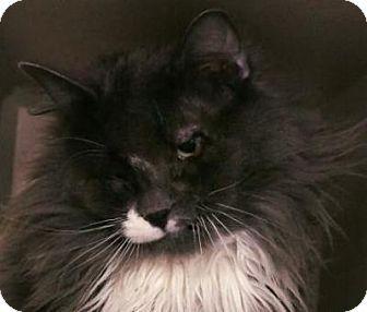 Denver, CO - Domestic Longhair. Meet 10th Avenue, a cat for adoption. http://www.adoptapet.com/pet/12302295-denver-colorado-cat