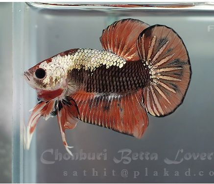 Copper fancy halfmoon plakat fancy bettas pinterest for Caring for a betta fish in a bowl