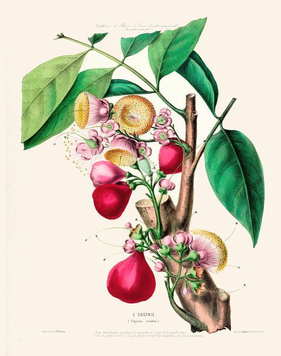 antique french botanical print eugenia jambos tree and fruits