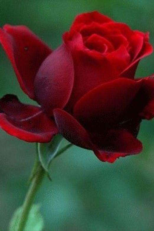 6862 best അ Romantic Rosesഅ images on Pinterest | Flowers ...