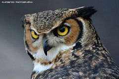 African eagle owl - Zoo Amneville