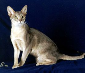 blue abyssinian cat    2003 Top Ten Abyssinians in Premiership: Egyptian Cat, Cat 2003, Blue Abyssinian Cat