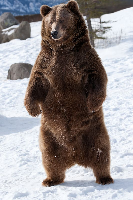 25+ best ideas about Alaskan brown bear on Pinterest | Grizzly ...