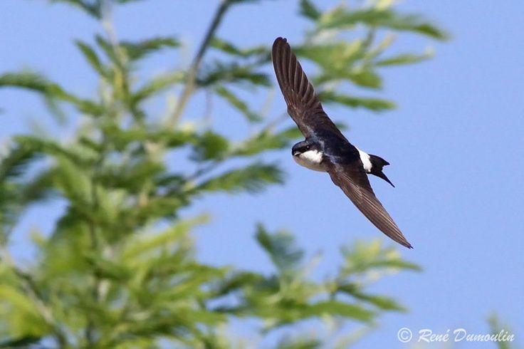 Hirondelle de fen tre delichon urbicum oiseaux vus ou for Hirondelle de fenetre