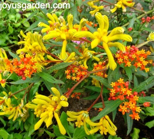 Butterfly gardening: Kangaroo Paws & Butterfly Weed.