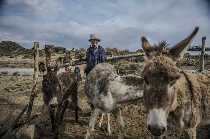 Isak Botha stands in the makeshift paddock where his donkeys spend the night. Donkeys form a vital part of the Karretjiemense's nomadic lifestyle.