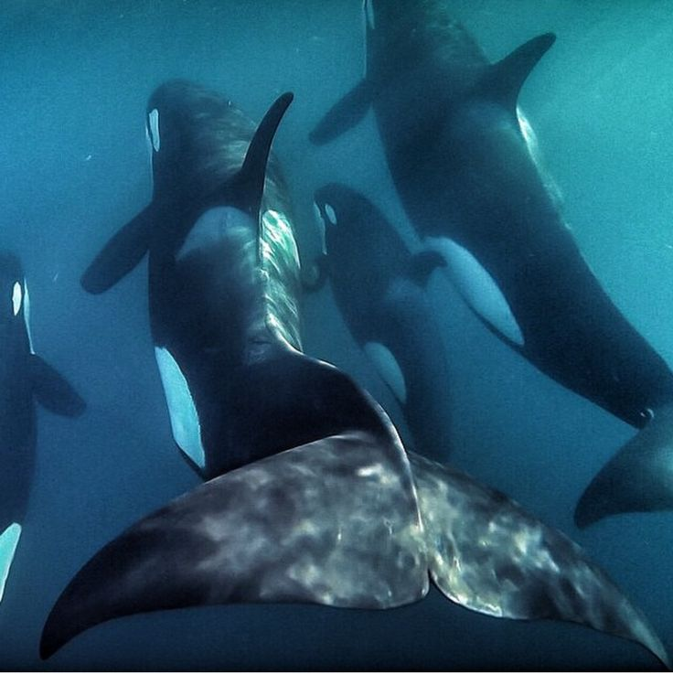Orcas in New Zealand                                                                                                                                                                                 More