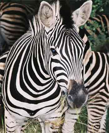 Zebra. Photo courtesy www.african-safari-pictures.com