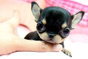 Teacup Chihuahua  hunde-zone.at/hunderassen-hundegruppen/items/teacup-hunde.html