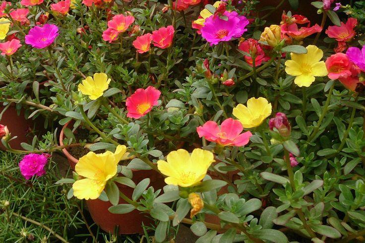 La verdolaga (lat., Portulaca oleracea) es una planta que podemos calificar de…