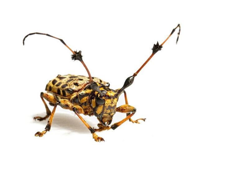 Check out those fuzz ball antennae. Cerambycids, commonly known as longhorn beetles, are incredibly diverse in the Amazon rainforest, spending most of their lives as larvae inside tree bark. #cerambycidae #longhorn #beetle #antennae #amazonrainforest