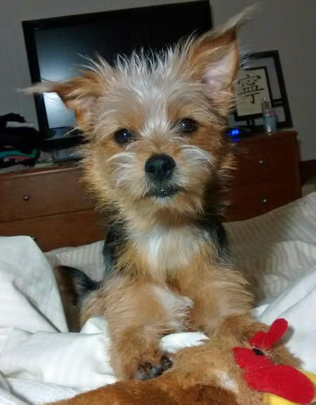 Piper the Yorkie & JACK RUSSELL TERRIER (JRT) MIX. THIS COMBINATION OF BREEDS COULD MEAN A LOT OF ENERGY, ALMOST CONSTANTLY ~