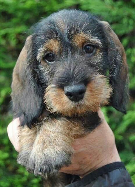 * Adorable wirehaired doxie