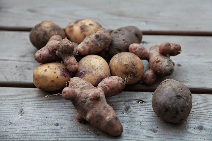 king edward potato Tsajut