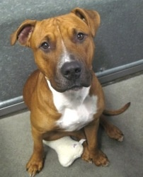 Theodorable is an adoptable Pit Bull Terrier Dog in Roseville, CA.  Placer SPCA - your local companion animal welfare experts. We offer FREE cat spay & neuter and FREE pitbull/pitbull mix spay & neuter in Placer County, California. Call (916) 782-7722 x. 201 or (530) 885-7387 x. 201 or visit www.placerspca.org/snap.