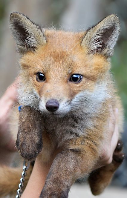 Fox on a leash!
