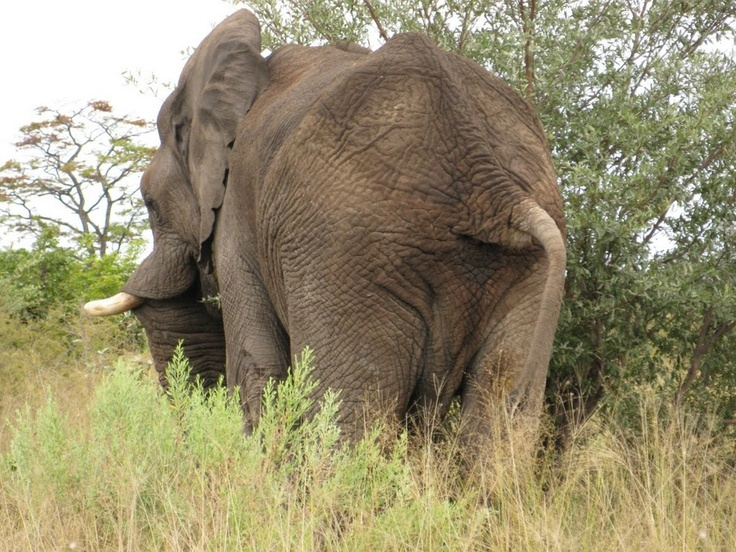 Elephant's east side going west in Botswana