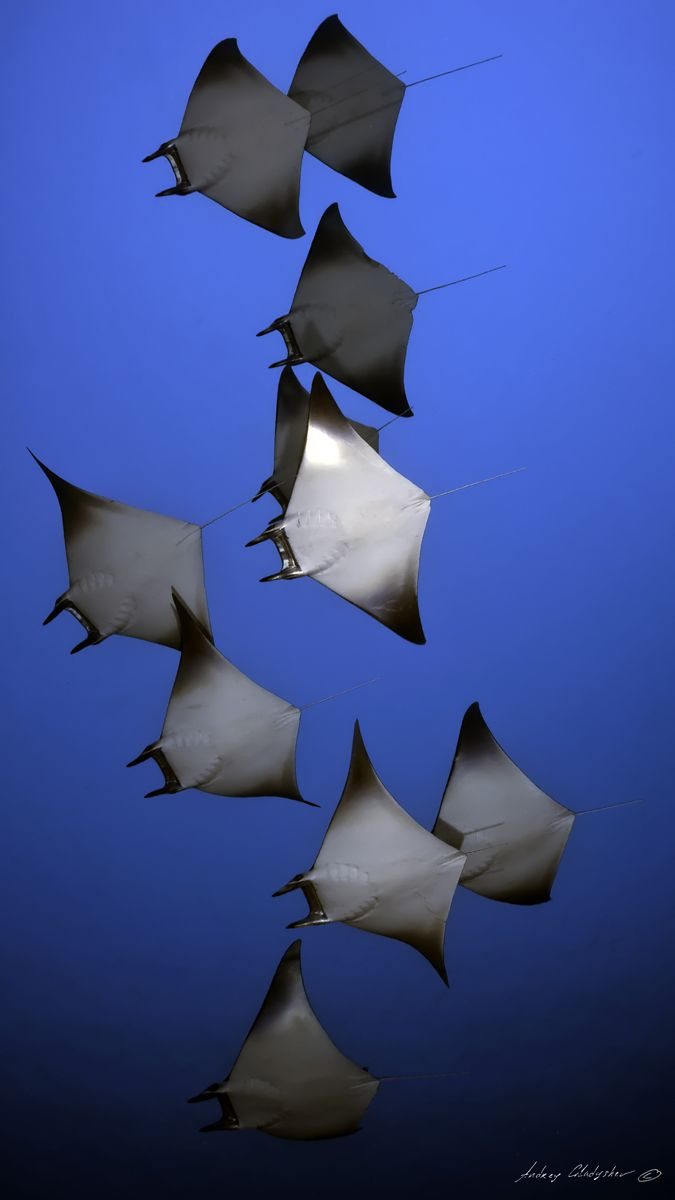 A Flight of Manta Rays by Andrey Gladyshev #Manta_Rays